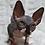 Thumbnail: 592 Monica  female Sphynx   kitten