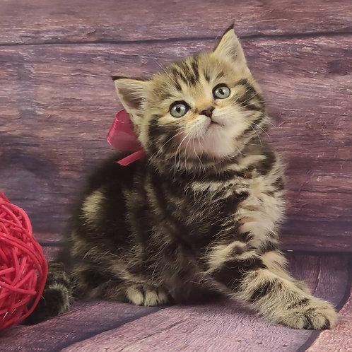 581 Emiko   Scottish straight shorthair female kitten