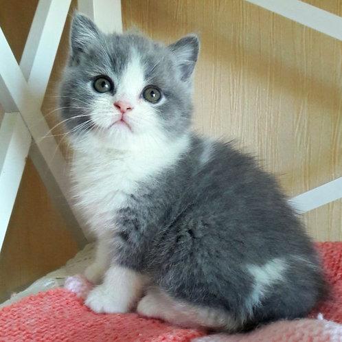 517 Elf   British shorthair male kitten