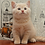 Thumbnail: 765 Comandor  British shorthair male kitten