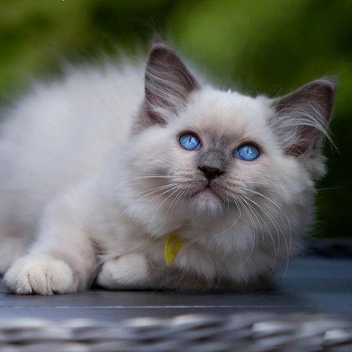 247 Alisa    Ragdoll female kitten