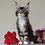 Thumbnail: 548 Dolly Bell    Maine Coon female kitten