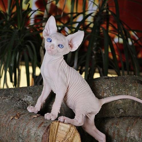 Latifa female Sphinx kitten