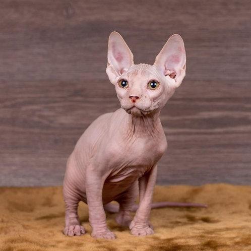 525 Helga  female Sphynx  kitten