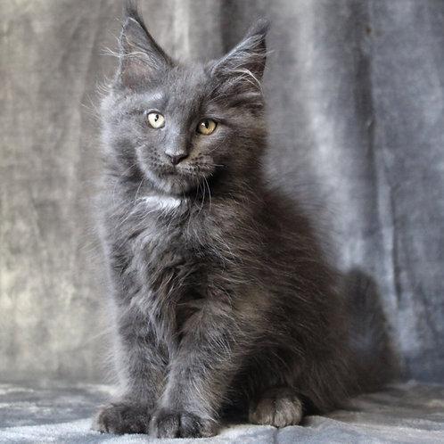 522 Platon  Maine Coon male kitten