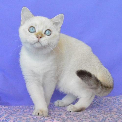 443 Thomas     Scottish straight shorthair male kitten