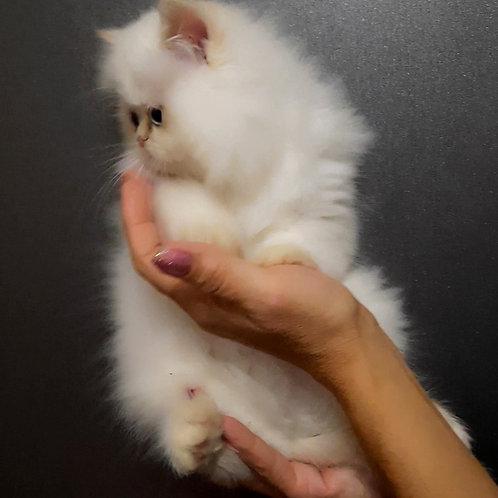 222 Sugar   Persian  male kitten