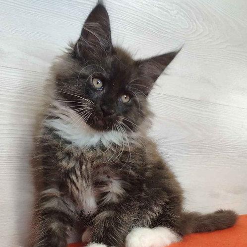 190 Karat   Maine Coon male kitten