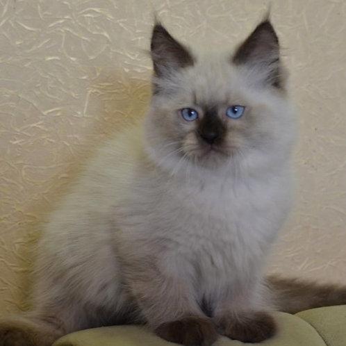 124 Forvard     Siberian male kitten