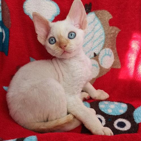 Armani male kitten Devon Rex