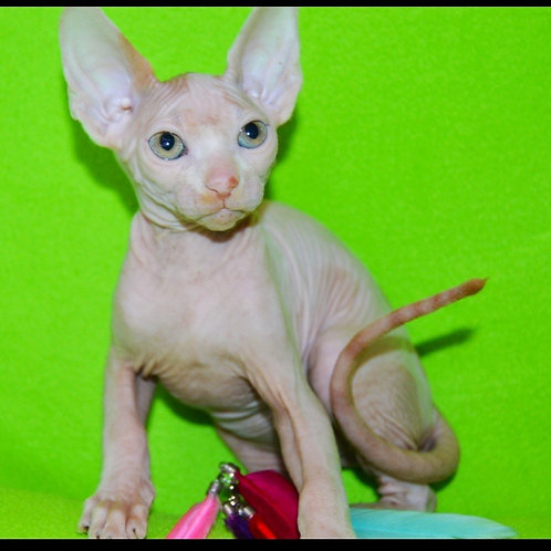 388 Qvazar male Sphinx kitten