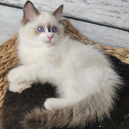 554 Olli  Ragdoll female kitten