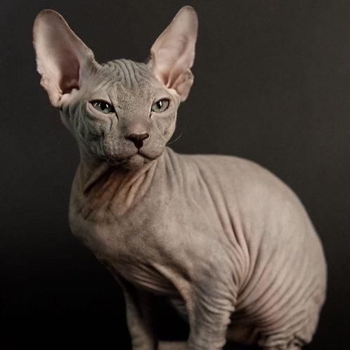 454 Vegas   male Sphynx Donskoy kitten