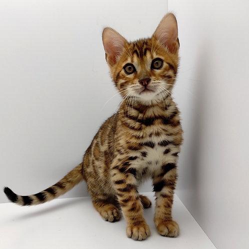 88 Vivaldi  purebred Bengal male kitten