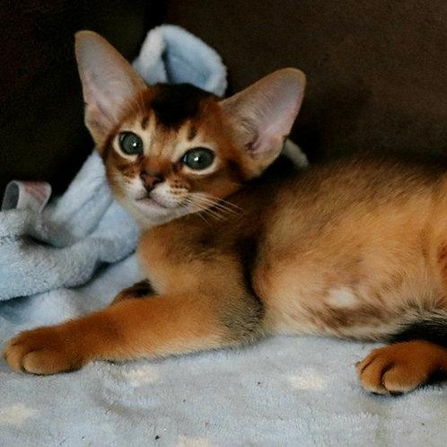 218 Naomi  purebred Abyssinian female kitten