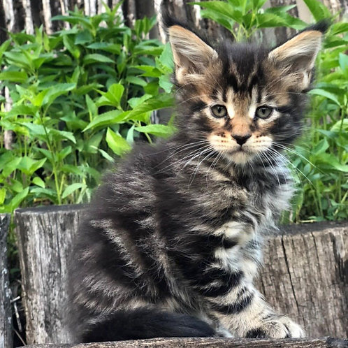 Hayder Maine Coon male kitten