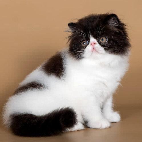139 Yasu   Persian  male kitten