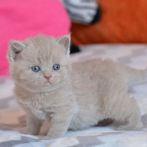 Queen of sharm British shorthair female kitten