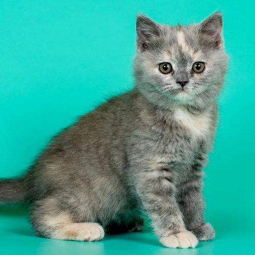923 Kleopatra   British shorthair female kitten