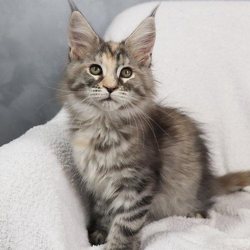 356 Fijit  Maine Coon female kitten