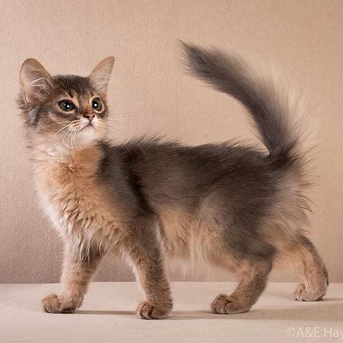 191 Gigi  purebred Somali female kitten