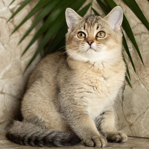 980 Alisa  Scottish straight shorthair female kitten