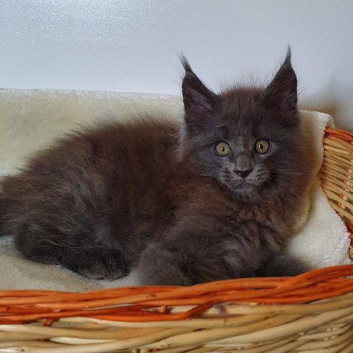 391 Thomas  Maine Coon male kitten
