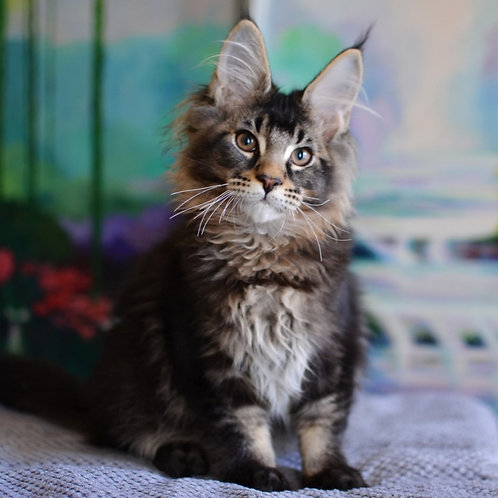 900 Edvard Maine Coon male kitten