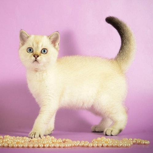 866 Candy   Scottish straight shorthair female kitten