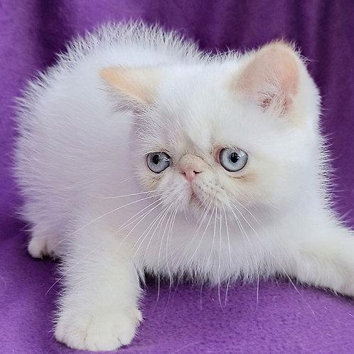 146 Bebi   Exotic  female kitten