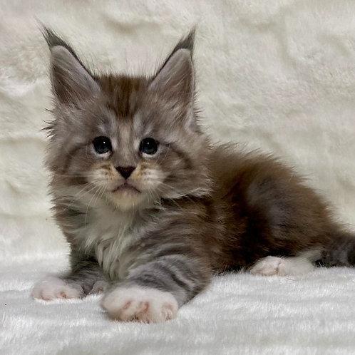464 Rafael polydact  Maine Coon male kitten