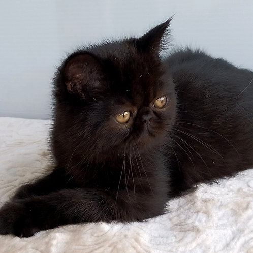 168 Pit   Exotic  male kitten