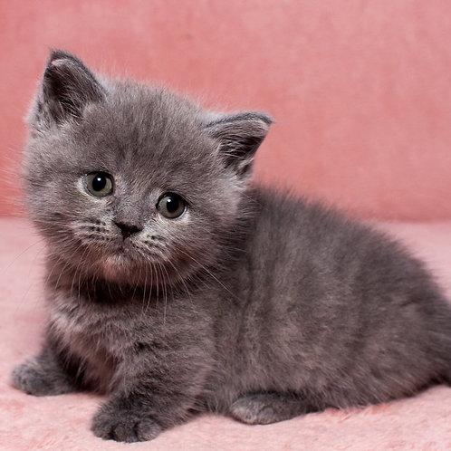Pike Munchkin female kitten