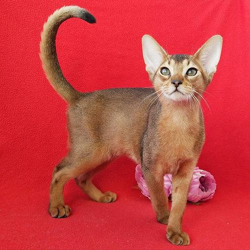 Tarantino purebred Abyssinian male kitten