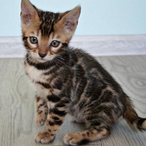 220 Chesey purebred Bengal female kitten