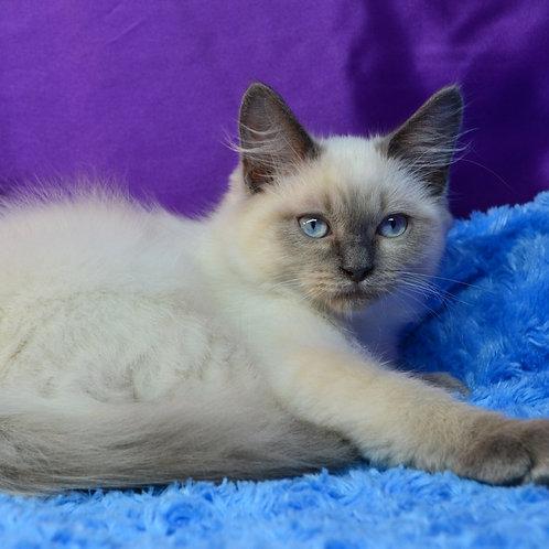 Eroshka Siberian male kitten