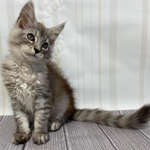 540 Brenda Maine Coon female kitten