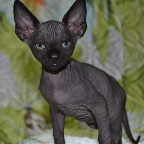 308 Moor male Sphinx kitten