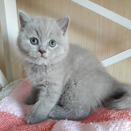 399 Eric  British shorthair male kitten