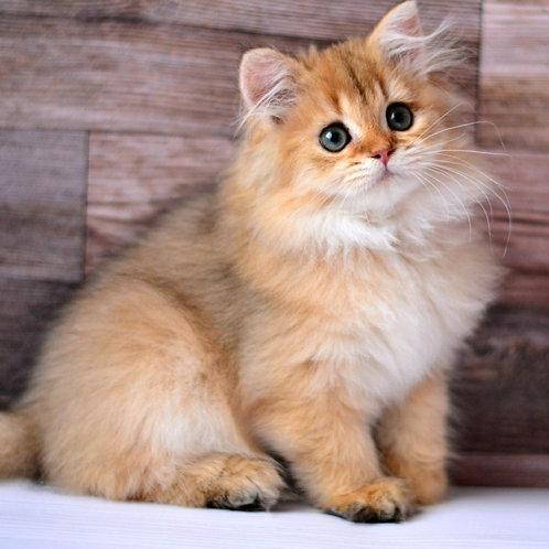 426 Tiffany  British longhair female kitten