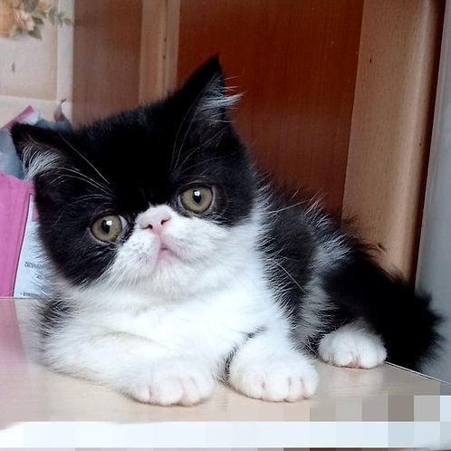 152 Batman Exotic shorthair male kitten