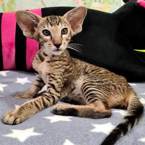 692 Peter Pan    Oriental male kitten