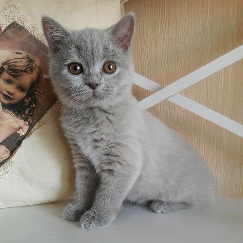 Anelia British shorthair female kitten