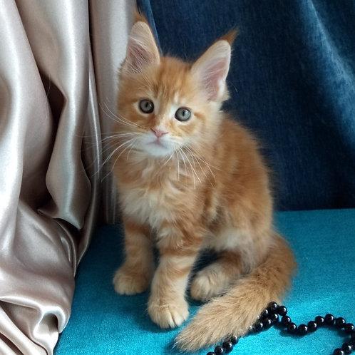 Cristie Maine Coon female kitten