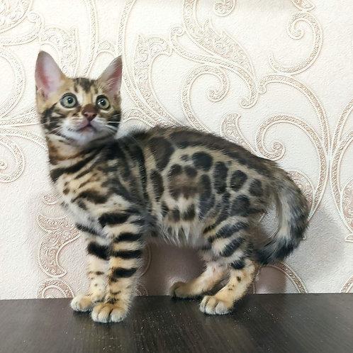 144 Tiana purebred Bengal female kitten