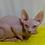 Thumbnail: 150 Oliver  male Sphinx kitten