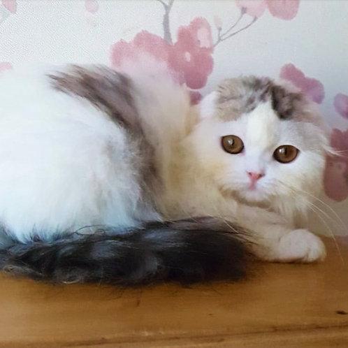 290 Quatro     Scottish fold longhair male kitten