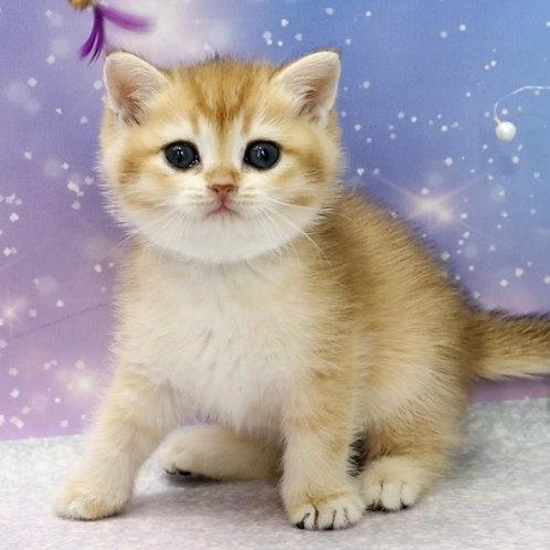 650 Absinthe  British shorthair male kitten