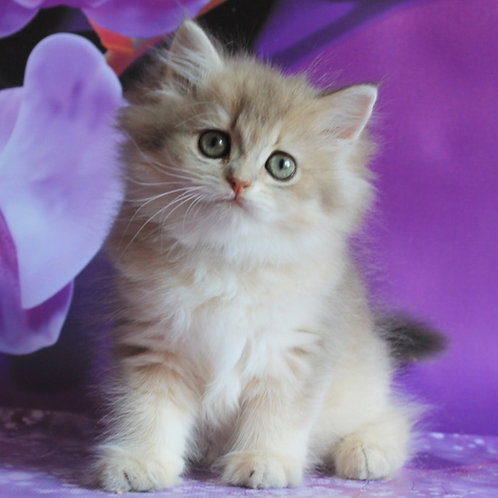 352 Sindi British longhair female kitten