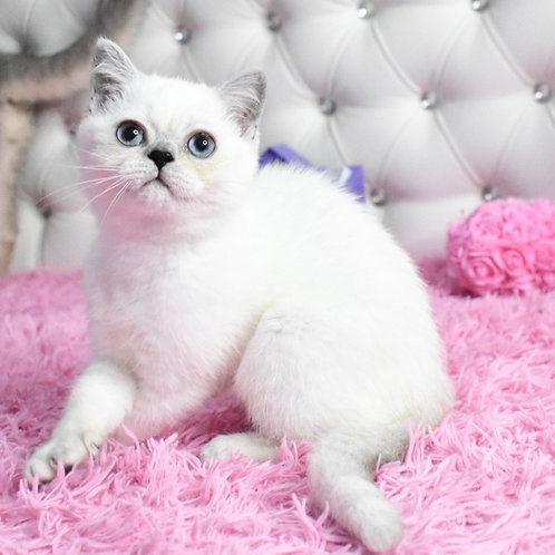 422 Wookie British shorthair male kitten